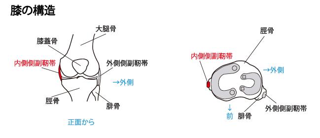 内側側副靱帯 構造