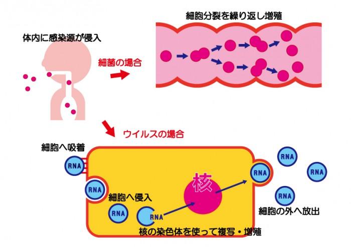 ウイルス・細胞の増殖